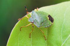 Common green shield bug by David Chapman www.davidchapman.org.uk