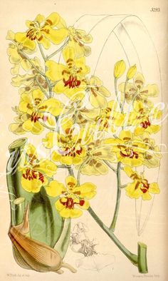 orchids-00979 Oncidium excavatum      ...  botanical floral botany natural naturalist nature flowers flower beautiful nice flora plants blooming ArtsCult.com Artscult ArtsCult vintage printable public domain 300 dpi commercial use 1800s 1700s 1900s Victorian Edwardian art clipart royalty free digital download picture collection pack paintings scan high qulity illustration old books pages supplies collage wall decoration ornaments Graphic engrav