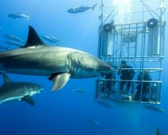 The great white sharks! Divers in 30' submersible cage experience the natural beautiful interaction with 2 great whites! Amazing!!!
