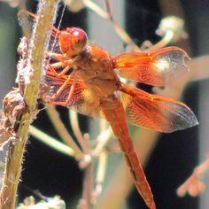 Red dragonfly. Photo by Rachel Jensen