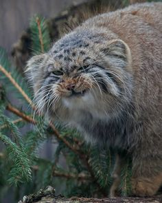 "Pallas cat ---- ""I know you like me. Look at this face. I only look mean. I'm a sweetie pie! Heh-heh."""