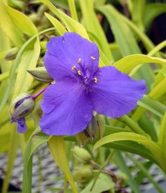 Blue and Gold Spiderwort (Tradescantia) - perennial