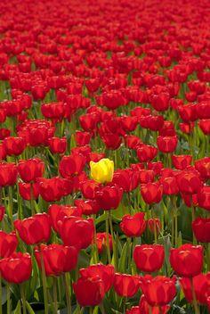Tulip fields in Skagit Valley, Washington.
