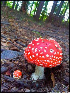 polskie grzyby trujące - muchomor czerwony #muchomor #czerwony #trujący #grzyby #mushroom #grzybobranie #borowik #prawdziwek #szlachetny #borowik  #forest #na_grzyby ##grzyby #jadalne #grzybki #grzyby_w_Polsce #zbieranie_grzybów #grzybiarz #Beskidy #Poland #lasy_Polskie #Polskie_grzyby