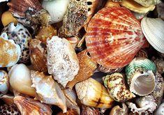One Kilo 2.2 lbs. Large Ocean Mix Seashells  appx. by seashellmart, $18.00
