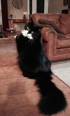 My Tuxedo cat Ollie. ❤️