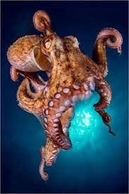 Résultats de recherche d'images pour «pieuvre géante du pacifique»