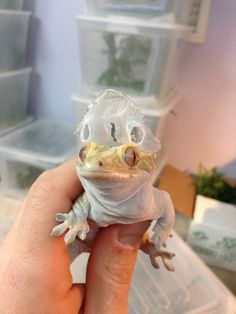 Crested Gecko shedding Creepy Animals, Cute Funny Animals, Cute Baby Animals, Cute Lizard, Cute Gecko, Cute Reptiles, Reptiles And Amphibians, Geckos, Crested Gecko