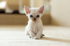 Devon Rexs for Sale Devon Rex Kittens & Cats for Sale Find a . Cute Cats And Kittens, I Love Cats, Crazy Cats, Kittens Cutest, Chat Rex, Beautiful Cats, Animals Beautiful, Devon Rex Kittens, Animals And Pets