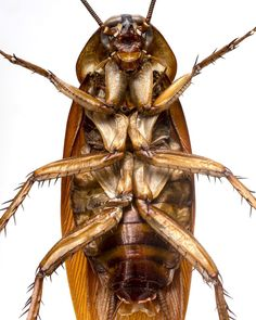 «@robertclarkphoto The German Brown Cockiroach is one of the most widely distributed species of cockroach that are a domestic pests, it probably is the…»