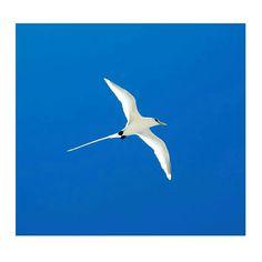 #pailleenqueue #oiseau #bird #escape #iledelareunion #tropical #wildlife #summer #974 #lareunion #Team974 #gotoreunion #indianocean #reunionisland #instabird #naturelovers #reunionparadis #beaupaysage #escape #islandlife #nature_perfection #flight #instanature #patrimoine #morning by _kafrine_974