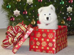 If someone could get me this for Christmas, I'd be okay with that #samoyedpuppy