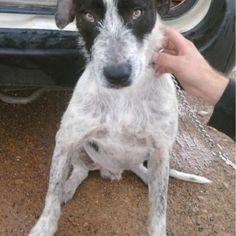 australian cattle dog german wirehaired pointer mix