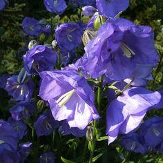 campanula blue bloomers, peach-leaved bellflower