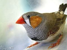 Zebra Finch  had these years ago. They make the best sounds, in the middle of winter it is a touch of spring.