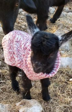 Here's our baby Pygmy goat born this morning, wearing a sweater. : aww