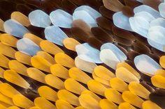 les ailes d'un papillon - des écailles!!!