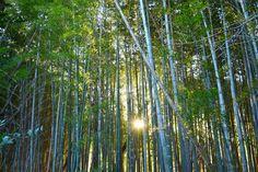 「夕暮れの竹林」 市川市曽谷にある竹林で撮りました。 竹は常緑植物なので、冬でも青々とした葉を湛え、目を和ませてくれます。 朝日や夕陽に照らされると葉がきらきらと輝き、風が吹くとさらさらと音を立て、何とも言えない趣を感じます。 市川市北部にはまだまだ竹林が残っている場所がありますので、竹林探しに出かけてみませんか。 Bamboo Grove in dusk / Soya,Ichikawa city,Japan