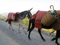 """El 25 de julio de 2014 salieron desde Granada por el Camino Real de Los Neveros dos burros, un mulo y 8 humanos. Su intención era la de rememorar el bello y duro oficio de Los Neveros de Sierra Nevada, que subían con mulos y burros a por nieve en verano para bajarla a Granada. Salieron a las 6 de la tarde y volvieron a las 9 de la mañana con nieve en sus serones después de 15... Cortesía de """"El arriero"""" Sierra Nevada, Cortijo Fuente de los Berros - Güéjar Sierra, Granada (España)…"""