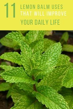 11 Creative Things To Do With Lemon Balm. Lemon balm is not just a herb for cooking. Learn what else you can do with it here in your daily living. Lemon Balm Recipes, Lemon Balm Uses, Herb Recipes, Cold Home Remedies, Herbal Remedies, Health Remedies, Natural Remedies, Healing Herbs, Medicinal Plants
