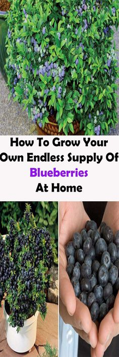 Are you a blueberry lover? If you want to have them available at home, this How To Grow Your Own Organic Blueberries Tutorial will show you in just 6 easy steps. Fruit Garden, Edible Garden, Lawn And Garden, Vegetable Garden, Garden Plants, Farm Gardens, Small Gardens, Growing Plants, Growing Vegetables