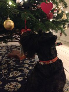 Tulle at the christmas tree wearing her custommade christmas collar