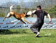 Dog Training Tips that actually work! Protection Dog Training, Malinois, Dog Training Tips, Dog Pictures, Doggy Stuff, Dogs, Sports, Awesome, Image