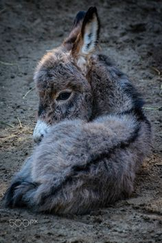 Young donkey foal- title Baby donkey - by Peter Hendriks on 500px