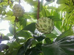 Philippine fruit [ ATIS ]