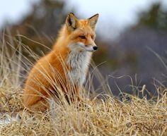 Red Fox by Peter Kefali