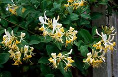 Long flowering honeysuckle - likes a bit of shade