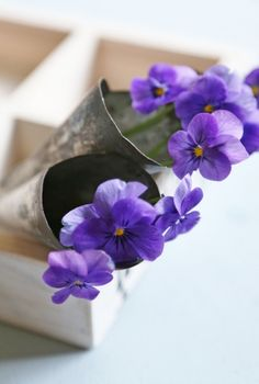 viola- I am soooooo glad spring is FINALLY here and the violets and panseys ar here!