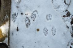 Red Fox and Snowshoe Hare Prints