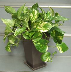 育てやすい観葉植物 ポトス♩ | iemo[イエモ]