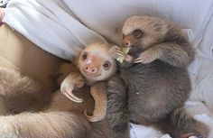 Sloth Love Sloths are a species of medium-sized arboreal mammals that live in the rainforests of Central and South America. Cute Creatures, Beautiful Creatures, Animals Beautiful, Baby Sloth, Cute Sloth, Slow Loris, Cute Little Animals, Cute Animal Pictures, Animal Pics