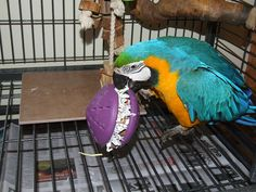 OMG, i had no idea! Aspergillosis is the most common fungal infection found in pet birds and newspapers are the most common cage lining used. Is there a connection? Diy Macaw Toys, Blue Gold Macaw, Diy Bird Toys, Bird Breeds, Birds For Sale, Parrot Toys, Exotic Birds, Pet Health, Bird Cage