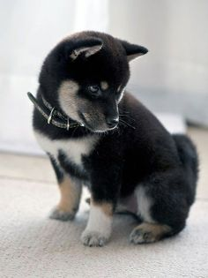 Shiba Inu Pup Want Want Want