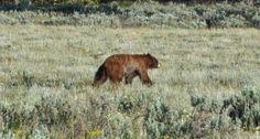 Black Bear Poaching in Missouri Black Bear, Brown Bear, Bear Hunting, The Revenant, Conservation, Missouri, Michigan, Survival, Pictures