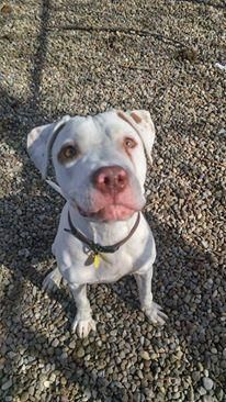 Petango.com – Meet Sparky 75, a 1 year Terrier, American Pit Bull / Mix available for adoption in CLEVELAND, OH
