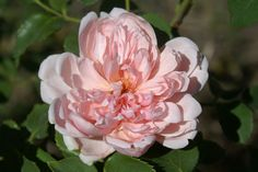 "Albertine (Wichuriana) Rambler, large copper-vermilion blooms, ""weeps"" out of trees. Will flower in Spring only, even so it is incredibly profuse. Ronsard Rose, Roses Only, Rose Garden Design, Types Of Roses, Growing Roses, Home Garden Plants, Pansies, Lilacs, Ludwig"