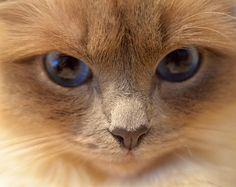Mommy loves my blue eyes! #minivaniljer #mazarin #birma #birman #breeder #catsofinstagram #chokladochvanilj #kitten #pinkalicious #welovecats #we_love_cats