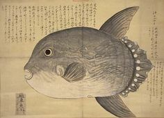 Sado in sunfish 'wildlife fish sketch diagram' Kurimoto Tanshuga of the autograph book 5-axis 'off the coast of comic dialogue. On July 9, 1797 a sunfish washed ashore on the beach of Himezu village, it has been described as 'mouth twisted tail Niitariru' (length is about 3 meters).