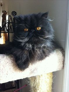 Black Persian #Cat-  this #cat looks just like Bijou LeFleur~Mary