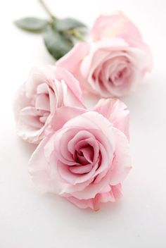 A Rose is A Rose: Pink roses
