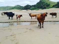 Cows on the beach - Mbotyi, Pondoland, Transkei Wild Coast, South Africa