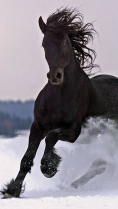 The Friesian horse embodies powerful agility and elegance. If you've ever seen a muscular, yet graceful, black horse in a film or TV program, there's a good chance it was a Friesian. Horses In Snow, Black Horses, Dark Horse, All The Pretty Horses, Beautiful Horses, Animals Beautiful, Horse Photos, Horse Pictures, Snow Pictures