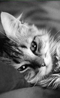 Beautiful Cat Breeds, Beautiful Cats, Animals Beautiful, Beautiful Pictures, Cute Cats And Kittens, Baby Cats, Kittens Cutest, Cute Baby Animals, Animals And Pets
