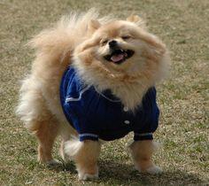 pomeranians in sweaters   Tumblr