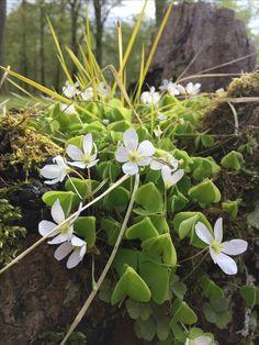Skovsyre / wood sorrels springtime beauty