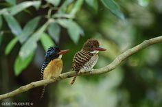 _CID5244+Banded+kingfisher+-+malde+and+female.jpg 1280×850 pixels